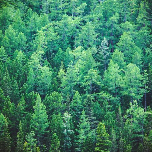 Fir forest view from above - beautiful nature of forest. Healthy green trees in a forest of old spruce fir and pine trees in wilderness of a national park.